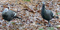 Photo: Wild turkeys